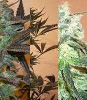 Mind Bender Marijuana Strain