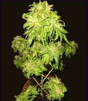 Mini Thunderfuck Marijuana Strain