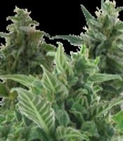 Mix Pack   Marijuana Strain