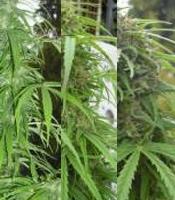 Monasteria Marijuana Strain