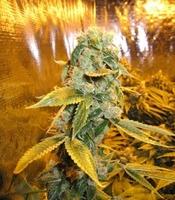Moondawg Marijuana Strain