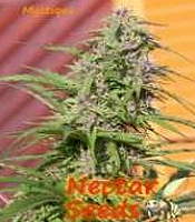 Mystique Marijuana Strain