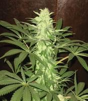 Mossad  Marijuana Strain