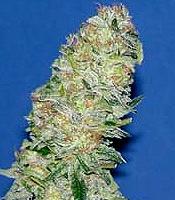 Mota Khan Afghana Marijuana Strain