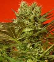 Motavation Marijuana Strain