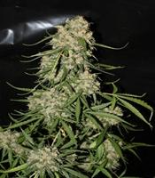 Mountain Kush Marijuana Strain