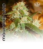 Mountain Lion  Marijuana Strain