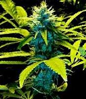 Mozambique Poison   Marijuana Strain