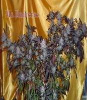 Ms. Universe Marijuana Strain