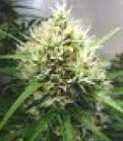 Mt Cook Marijuana Strain
