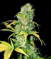 Mulanje Gold Marijuana Strain