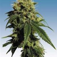 Mr Bubble  Marijuana Strain