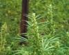 Mixed Sativa Diva Marijuana Strain