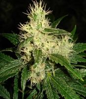 Dominator Marijuana Strain