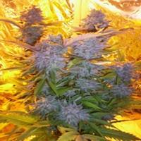 Blue Mammoth Marijuana Strain