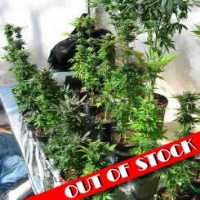 Body Bag SFV OGK Marijuana Strain