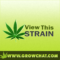 Amsterdamage Marijuana Strain