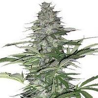 Morning Glory Marijuana Strain