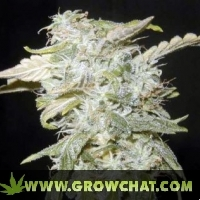 Sweet Tooth #33 Marijuana Strain